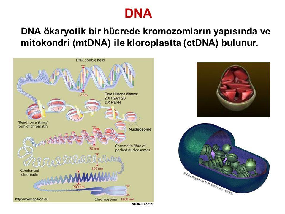 DNA DNA ökaryotik bir hücrede kromozomların yapısında ve mitokondri (mtDNA) ile kloroplastta (ctDNA) bulunur.