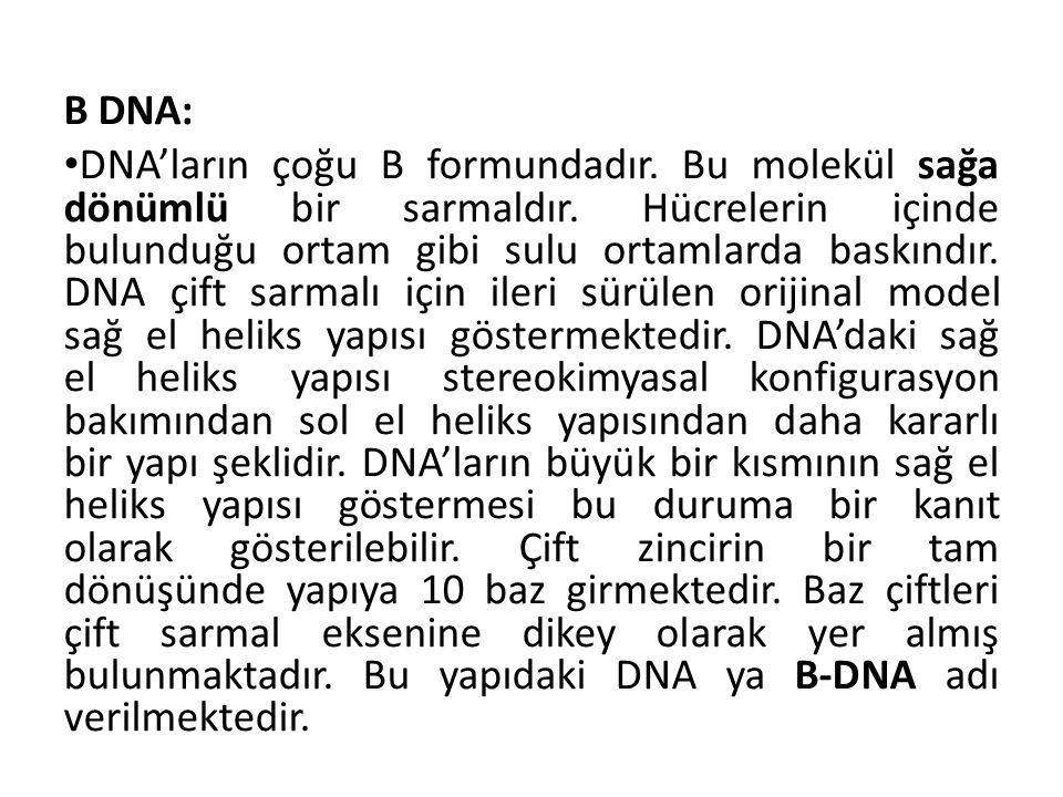 B DNA: