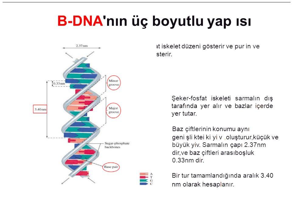 B-DNA nın üç boyutlu yap ısı