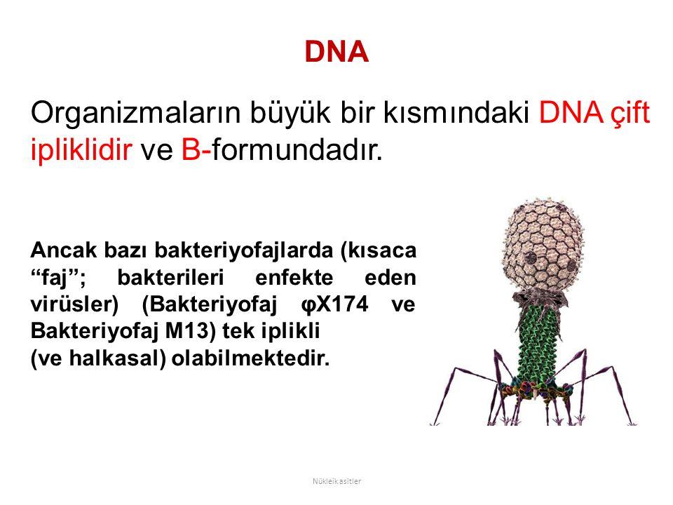 Organizmaların büyük bir kısmındaki DNA çift ipliklidir ve B-formundadır.