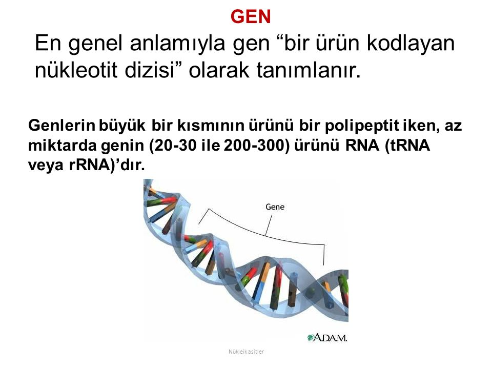 GEN En genel anlamıyla gen bir ürün kodlayan nükleotit dizisi olarak tanımlanır.
