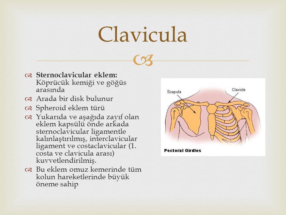 Clavicula Sternoclavicular eklem: Köprücük kemiği ve göğüs arasında