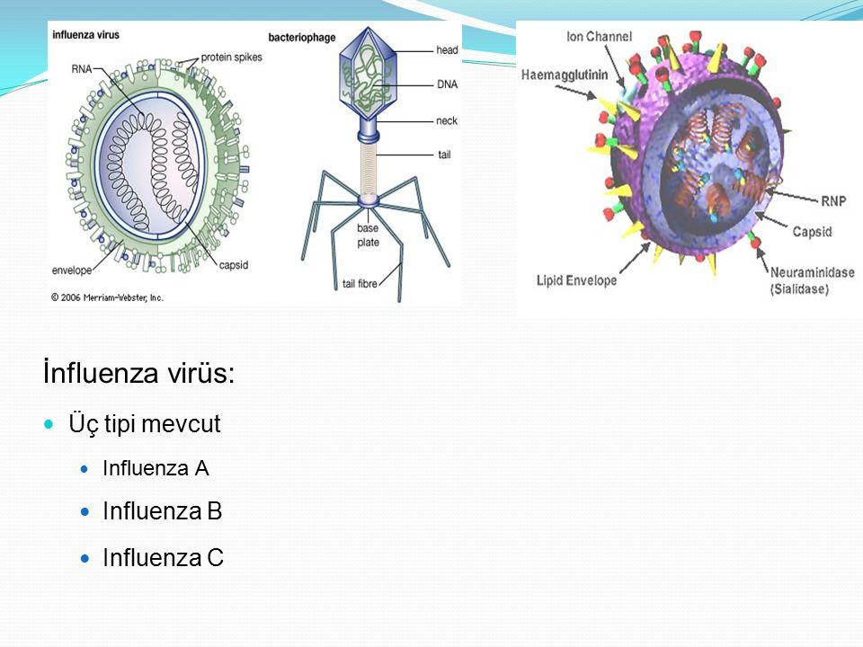 İnfluenza virüs: Üç tipi mevcut Influenza A Influenza B Influenza C