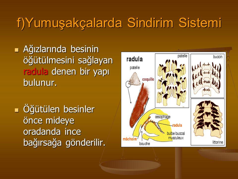 f)Yumuşakçalarda Sindirim Sistemi