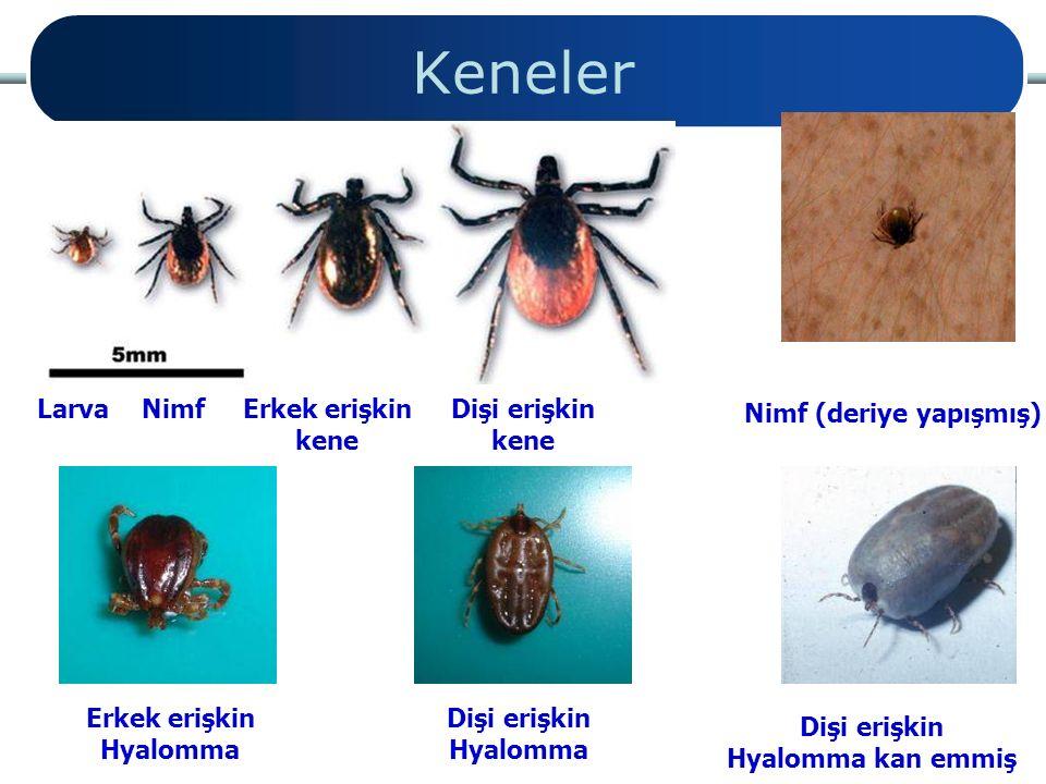 Keneler Larva Nimf Erkek erişkin kene Dişi erişkin kene