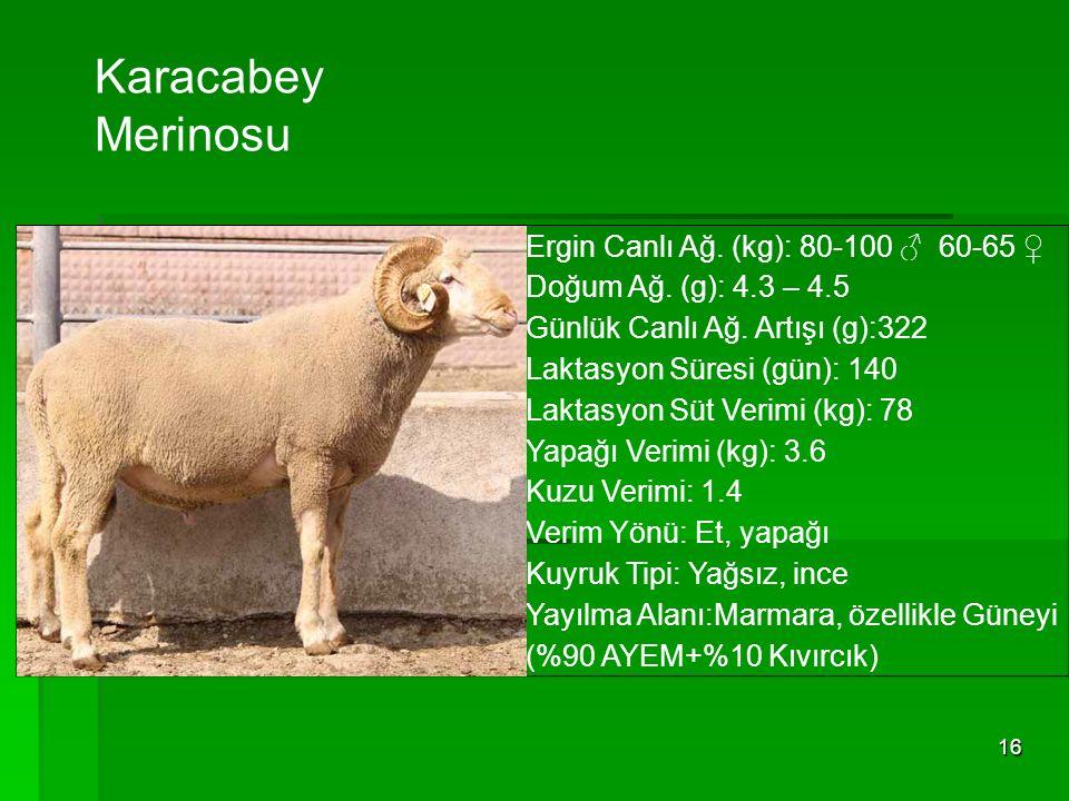 Karacabey Merinosu Ergin Canlı Ağ. (kg): 80-100 ♂ 60-65 ♀