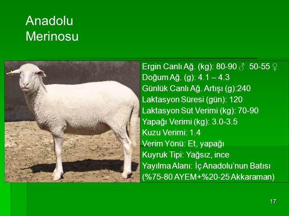 Anadolu Merinosu Ergin Canlı Ağ. (kg): 80-90 ♂ 50-55 ♀