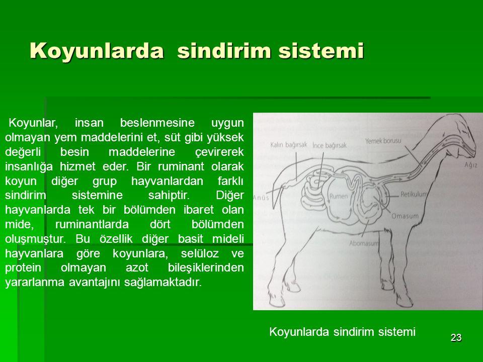 Koyunlarda sindirim sistemi