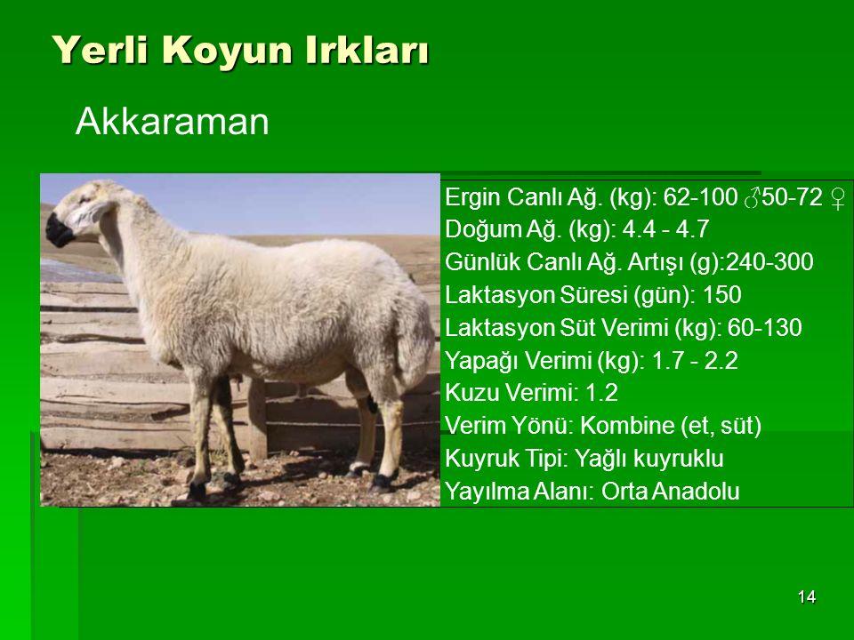Yerli Koyun Irkları Akkaraman Ergin Canlı Ağ. (kg): 62-100 ♂50-72 ♀