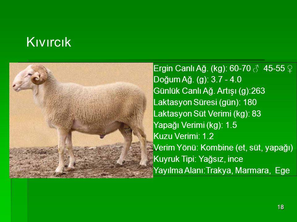 Kıvırcık Ergin Canlı Ağ. (kg): 60-70 ♂ 45-55 ♀