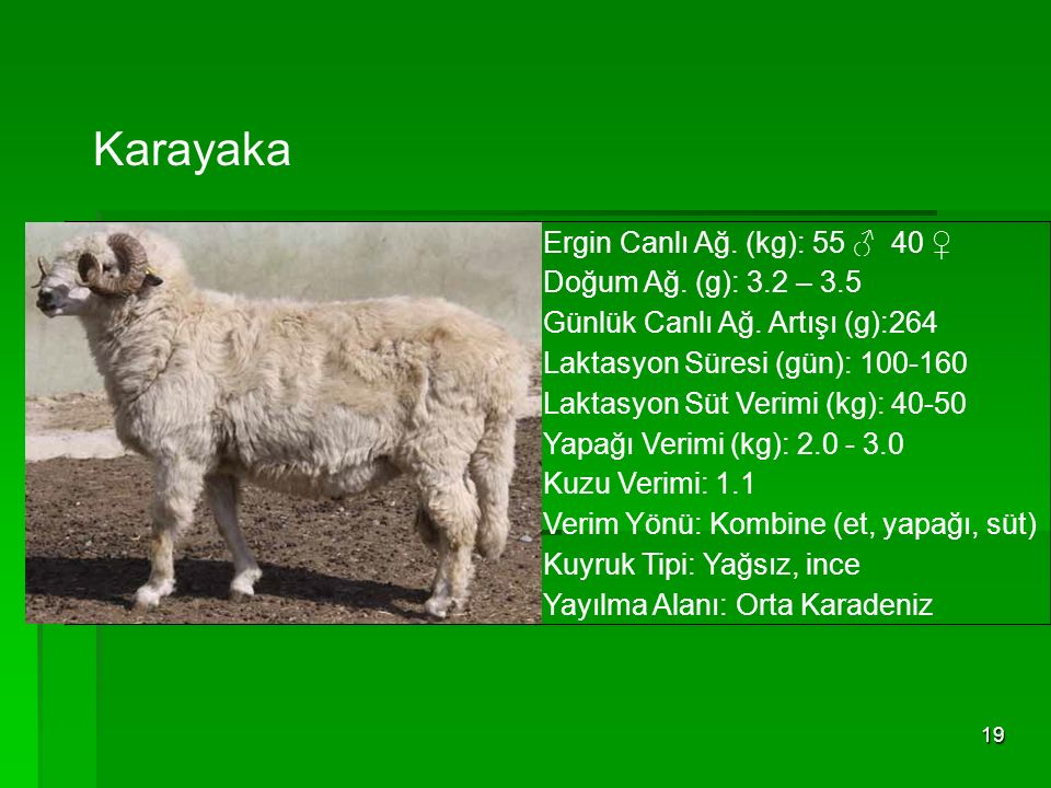 Karayaka Ergin Canlı Ağ. (kg): 55 ♂ 40 ♀ Doğum Ağ. (g): 3.2 – 3.5