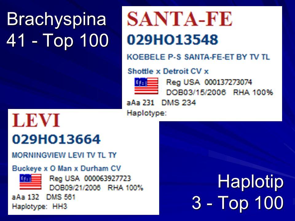 Brachyspina 41 - Top 100 Haplotip 3 - Top 100