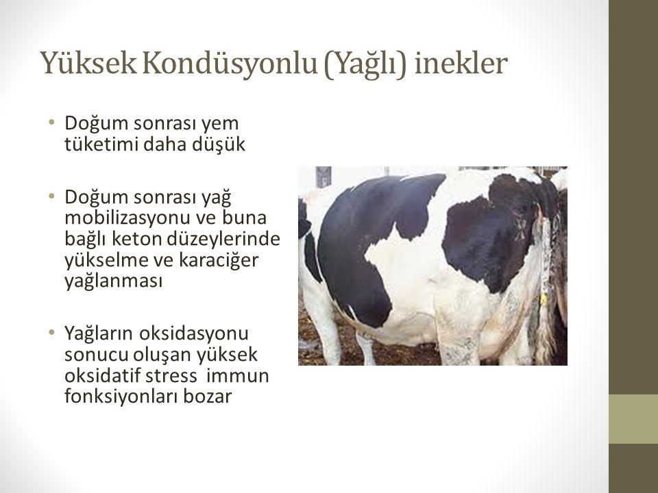 Yüksek Kondüsyonlu (Yağlı) inekler