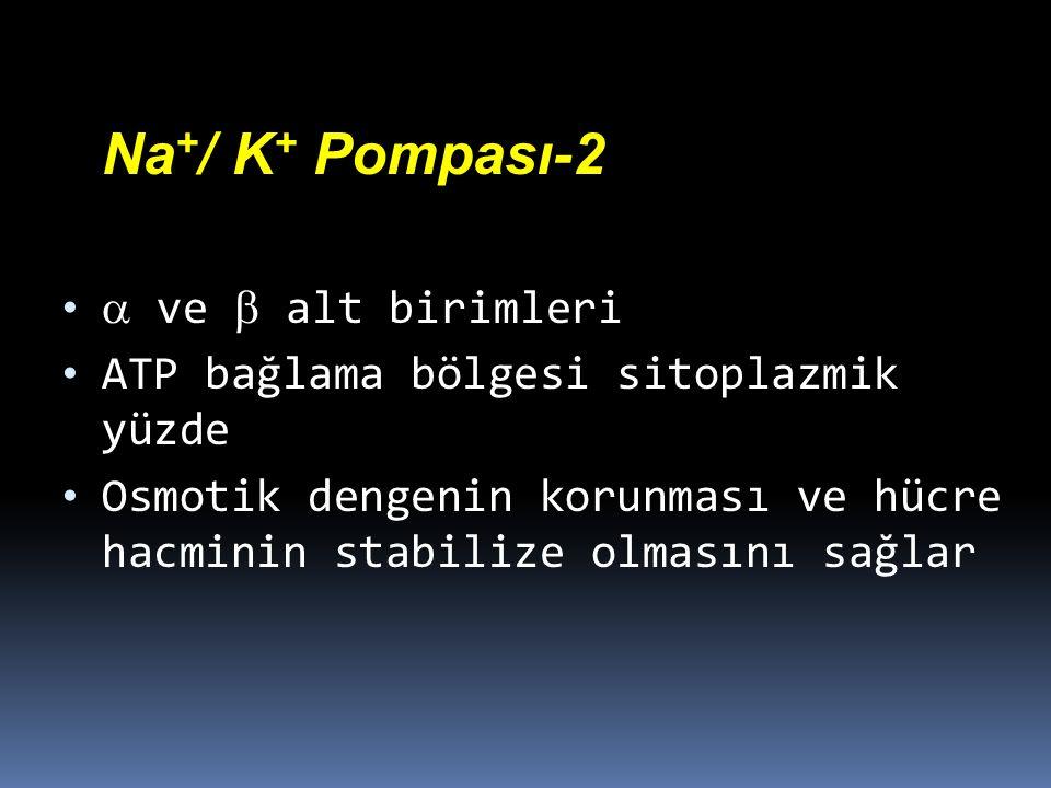 Na+/ K+ Pompası-2  ve  alt birimleri. ATP bağlama bölgesi sitoplazmik yüzde.