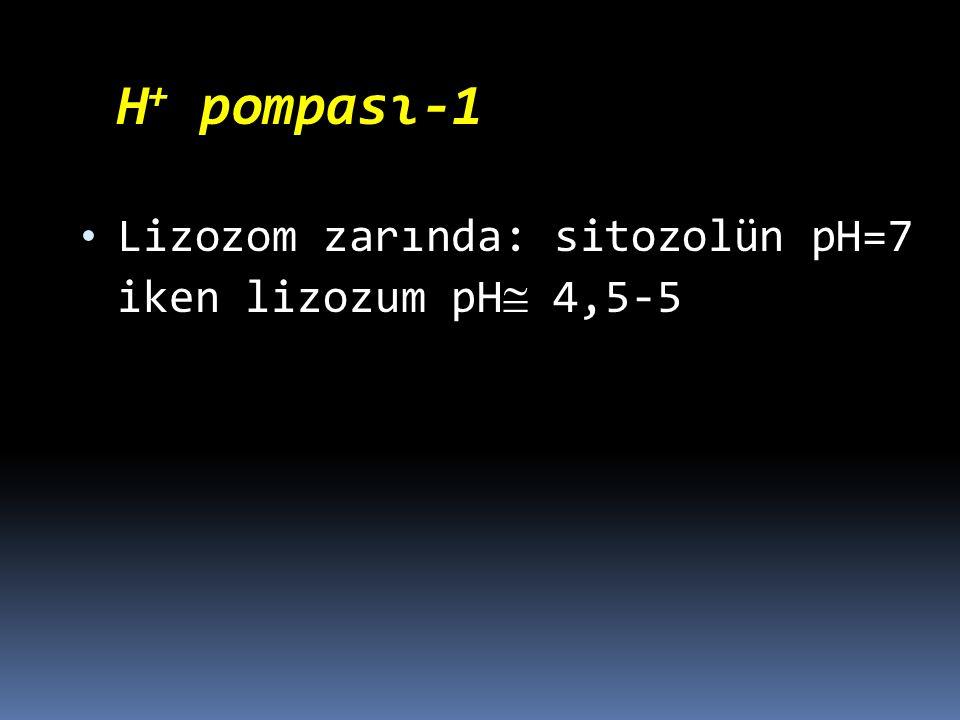 Lizozom zarında: sitozolün pH=7 iken lizozum pH 4,5-5
