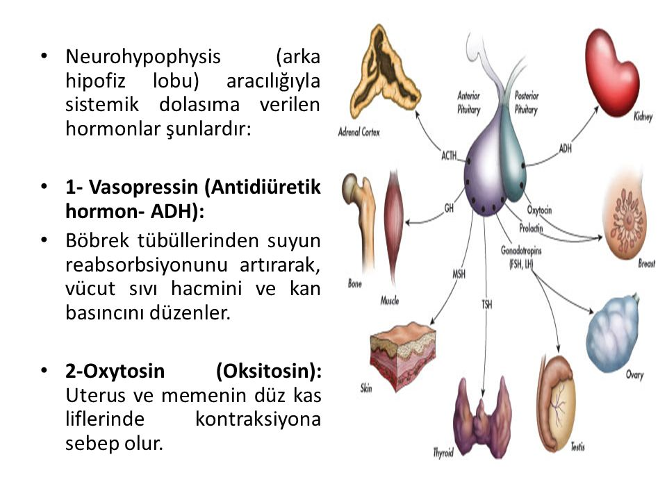 Neurohypophysis (arka hipofiz lobu) aracılığıyla sistemik dolasıma verilen hormonlar şunlardır: