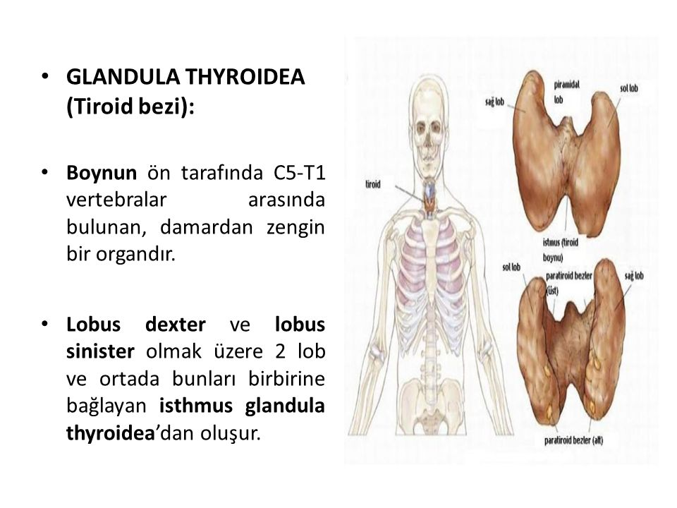 GLANDULA THYROIDEA (Tiroid bezi):