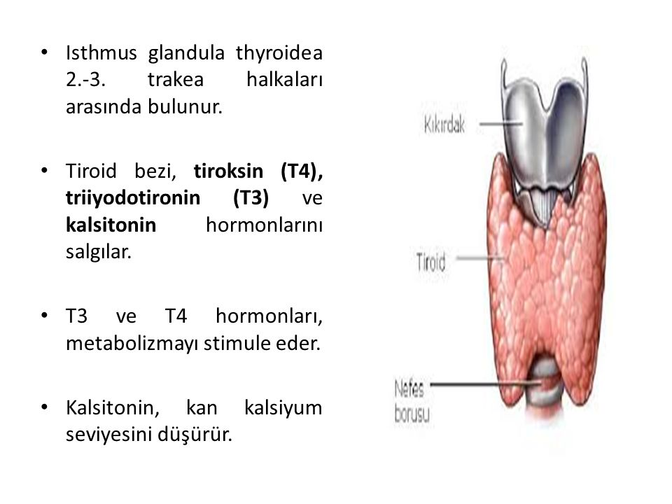 Isthmus glandula thyroidea 2.-3. trakea halkaları arasında bulunur.