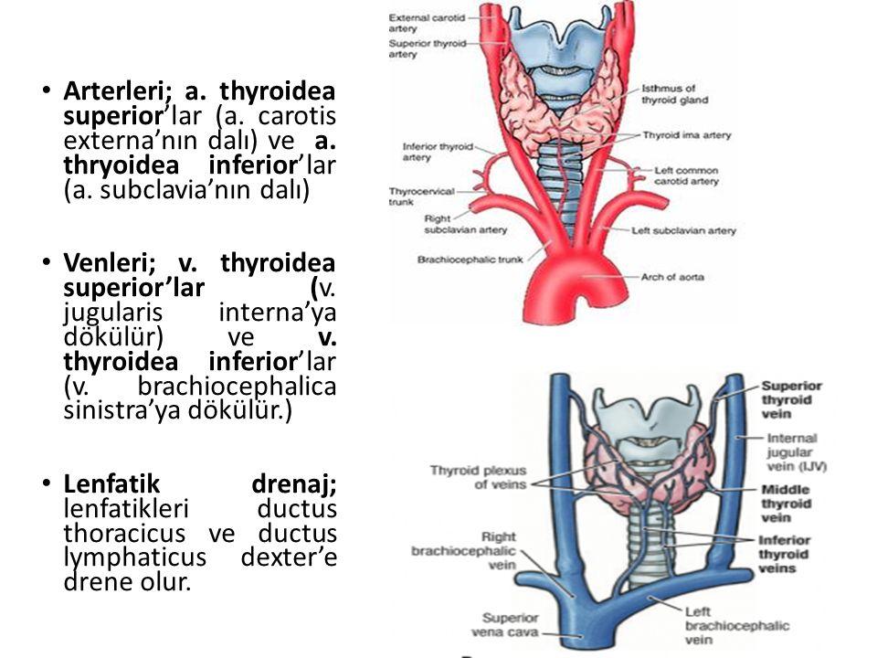 Arterleri; a. thyroidea superior'lar (a. carotis externa'nın dalı) ve a. thryoidea inferior'lar (a. subclavia'nın dalı)