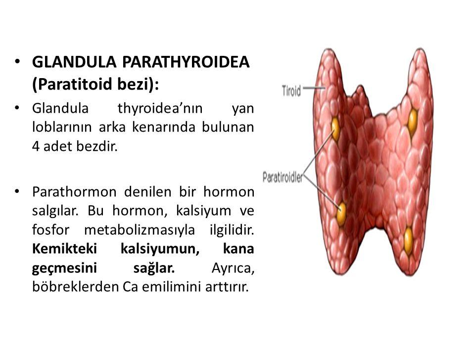 GLANDULA PARATHYROIDEA (Paratitoid bezi):