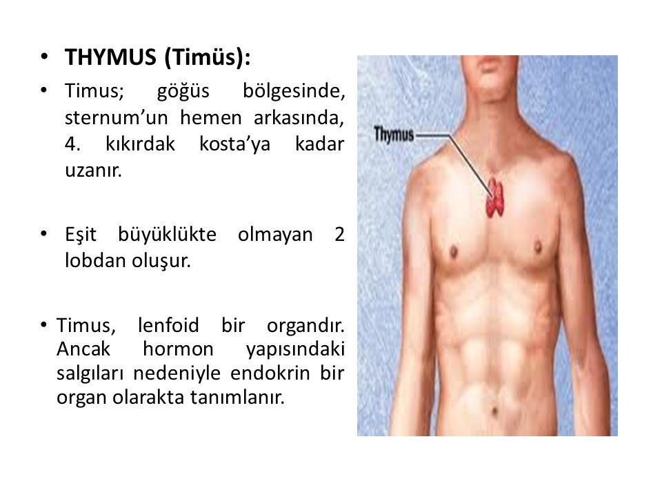 THYMUS (Timüs): Timus; göğüs bölgesinde, sternum'un hemen arkasında, 4. kıkırdak kosta'ya kadar uzanır.