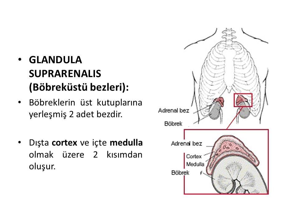 GLANDULA SUPRARENALIS (Böbreküstü bezleri):