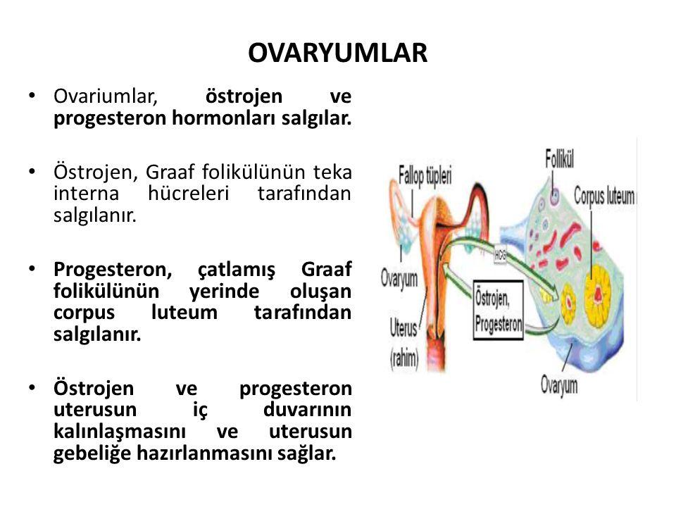 OVARYUMLAR Ovariumlar, östrojen ve progesteron hormonları salgılar.