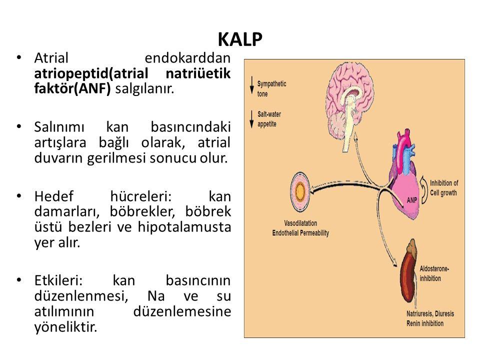 KALP Atrial endokarddan atriopeptid(atrial natriüetik faktör(ANF) salgılanır.