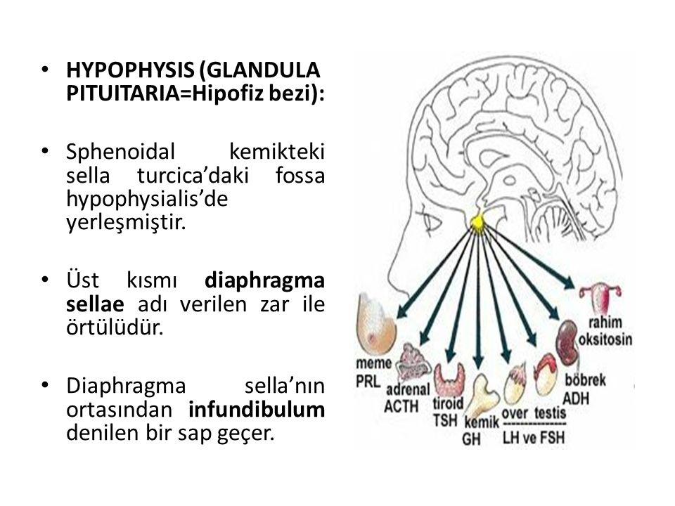 HYPOPHYSIS (GLANDULA PITUITARIA=Hipofiz bezi):