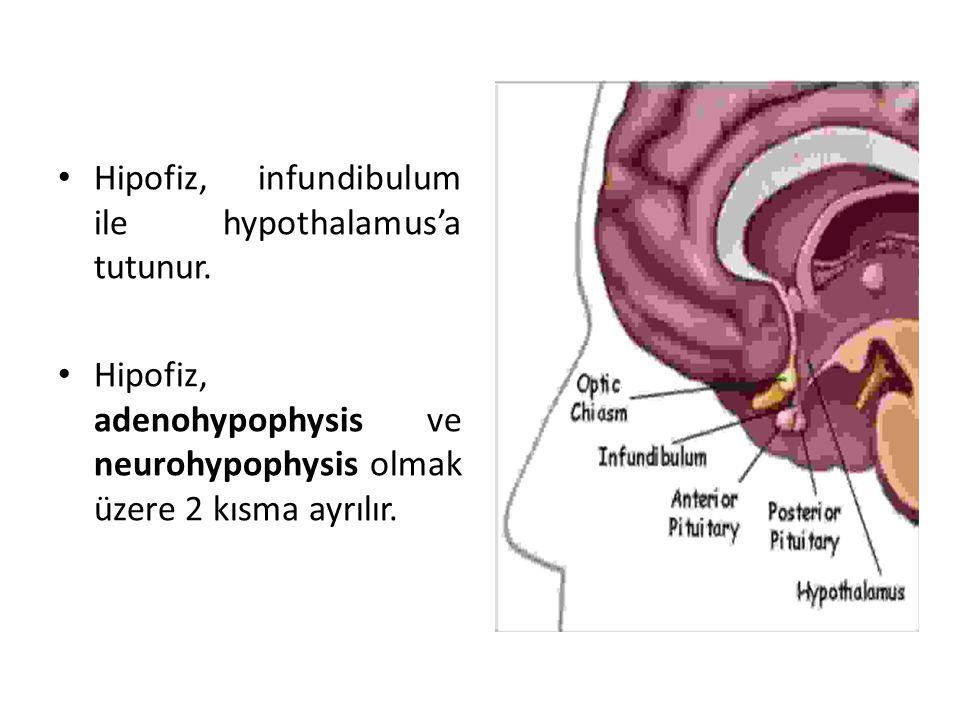Hipofiz, infundibulum ile hypothalamus'a tutunur.