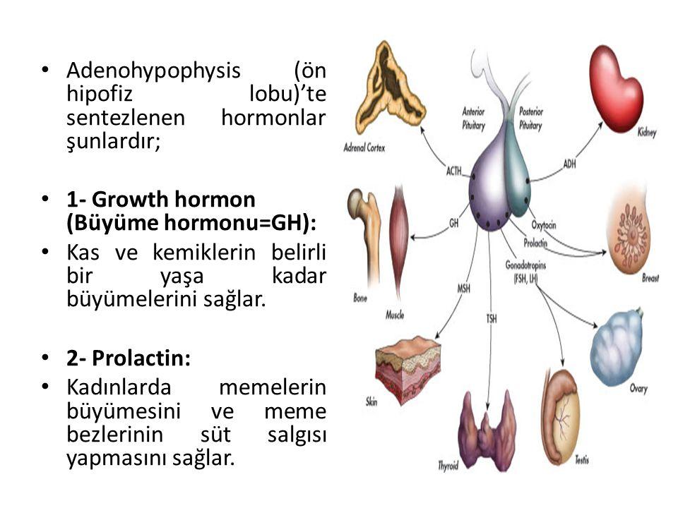 Adenohypophysis (ön hipofiz lobu)'te sentezlenen hormonlar şunlardır;