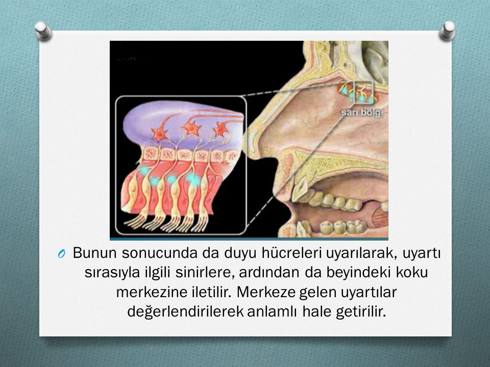 Bunun sonucunda da duyu hücreleri uyarılarak, uyartı sırasıyla ilgili sinirlere, ardından da beyindeki koku merkezine iletilir.