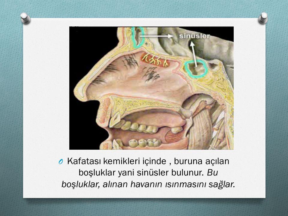 Kafatası kemikleri içinde , buruna açılan boşluklar yani sinüsler bulunur.