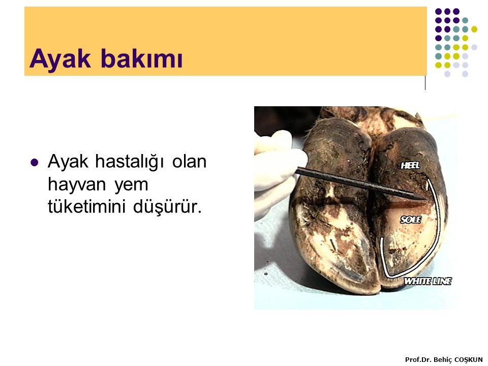 Ayak bakımı Ayak hastalığı olan hayvan yem tüketimini düşürür.