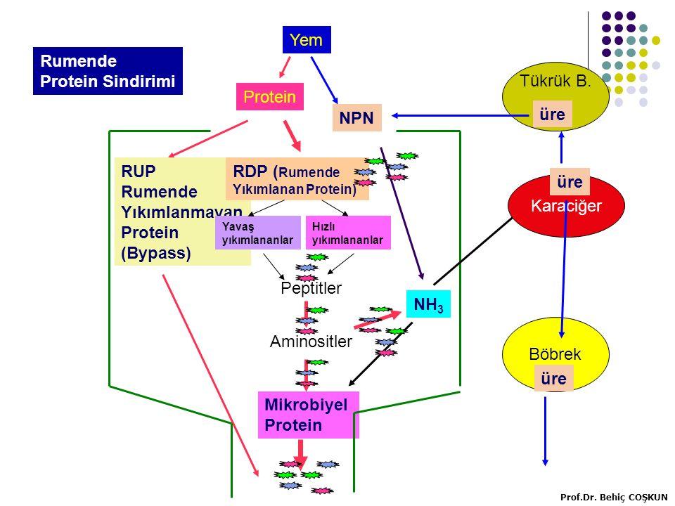 Yem Rumende Protein Sindirimi Tükrük B. Protein NPN üre RUP Rumende