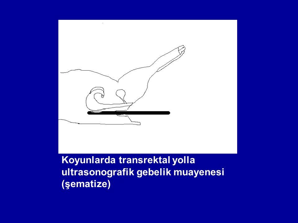 Koyunlarda transrektal yolla ultrasonografik gebelik muayenesi (şematize)