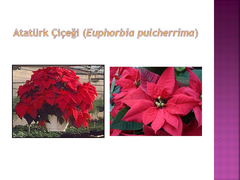 Atatürk Çiçeği (Euphorbia pulcherrima)