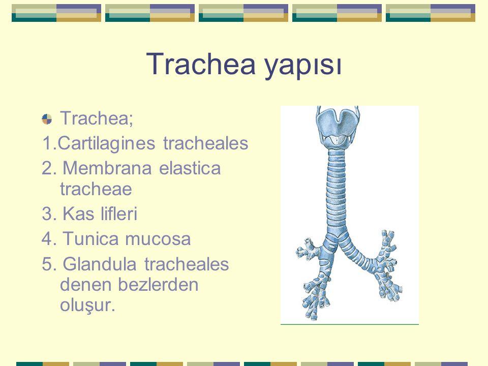 Trachea yapısı Trachea; 1.Cartilagines tracheales