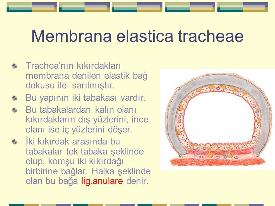 Membrana elastica tracheae