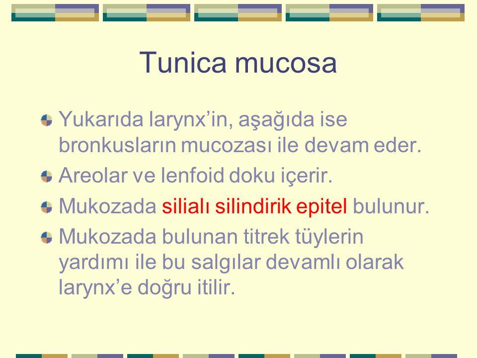 Tunica mucosa Yukarıda larynx'in, aşağıda ise bronkusların mucozası ile devam eder. Areolar ve lenfoid doku içerir.