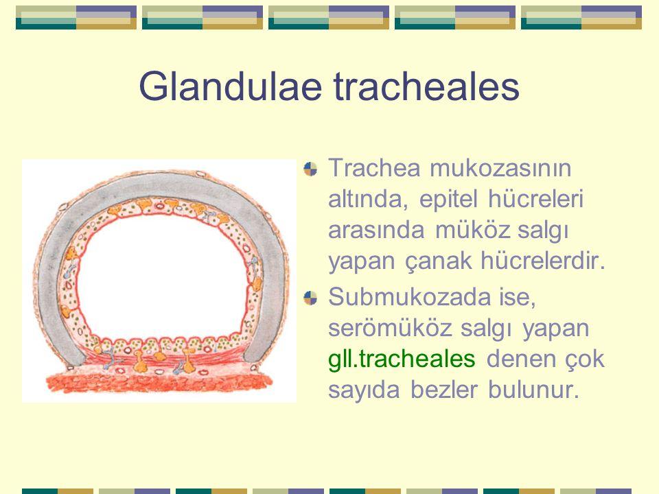 Glandulae tracheales Trachea mukozasının altında, epitel hücreleri arasında müköz salgı yapan çanak hücrelerdir.