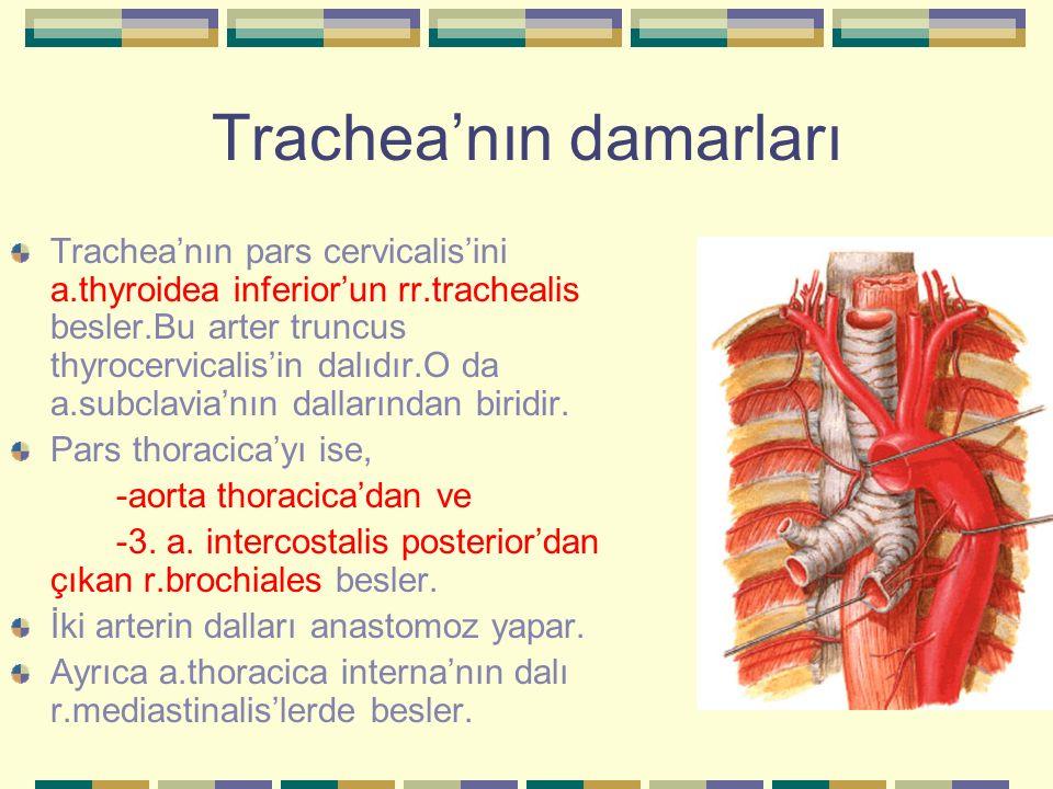 Trachea'nın damarları