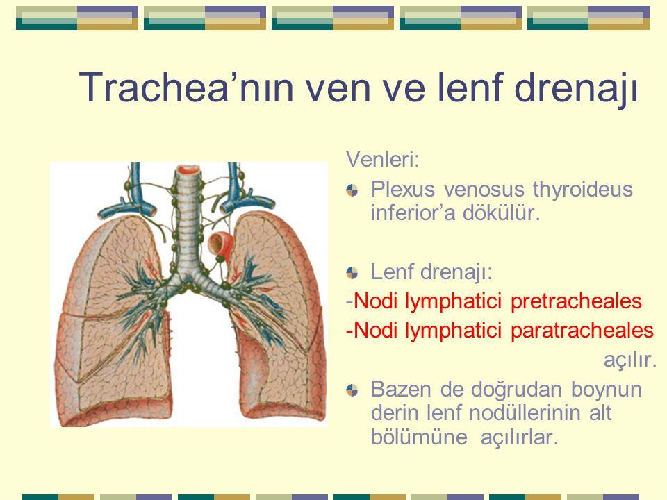 Trachea'nın ven ve lenf drenajı