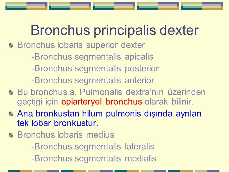 Bronchus principalis dexter