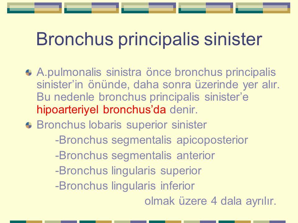 Bronchus principalis sinister