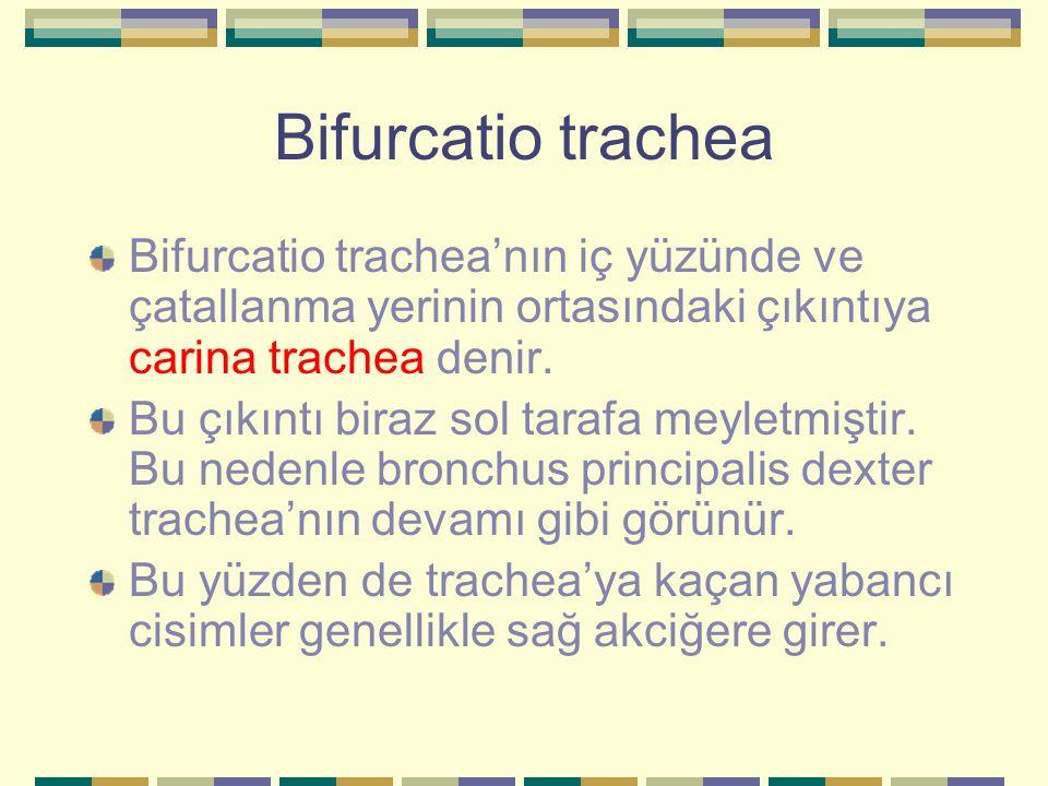 Bifurcatio trachea Bifurcatio trachea'nın iç yüzünde ve çatallanma yerinin ortasındaki çıkıntıya carina trachea denir.