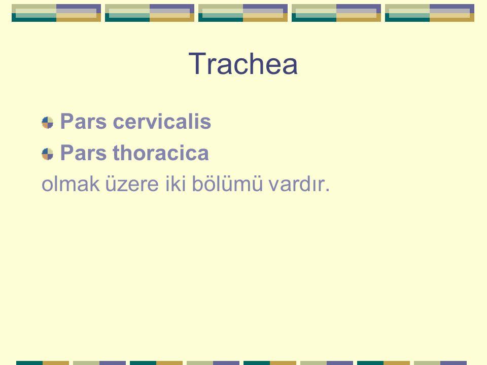 Trachea Pars cervicalis Pars thoracica olmak üzere iki bölümü vardır.