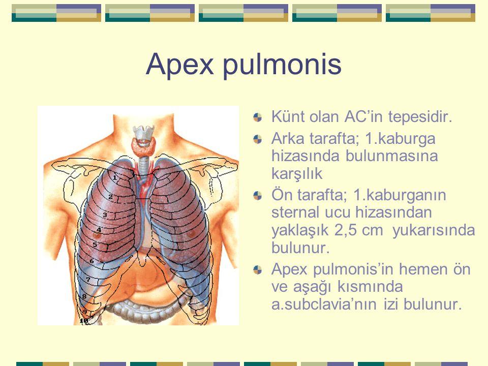 Apex pulmonis Künt olan AC'in tepesidir.