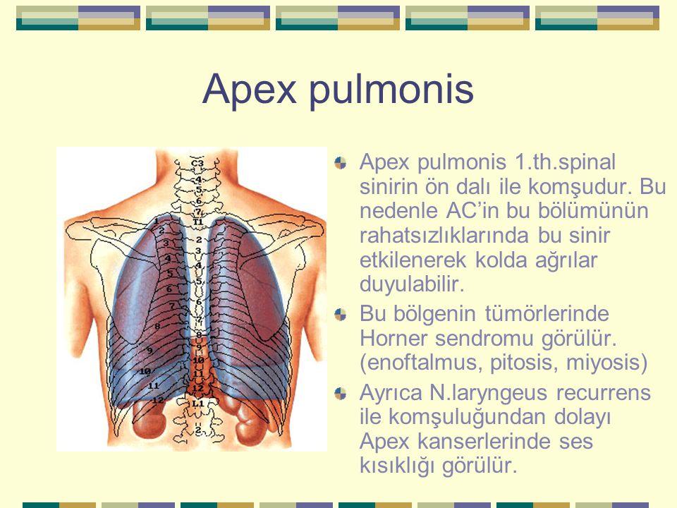 Apex pulmonis