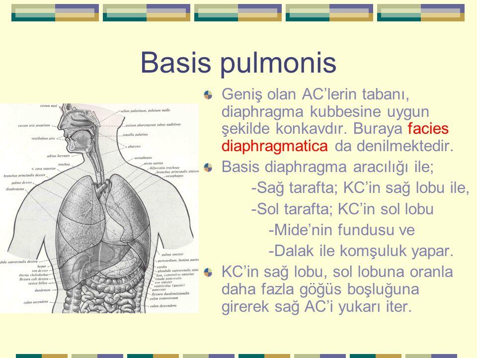 Basis pulmonis Geniş olan AC'lerin tabanı, diaphragma kubbesine uygun şekilde konkavdır. Buraya facies diaphragmatica da denilmektedir.
